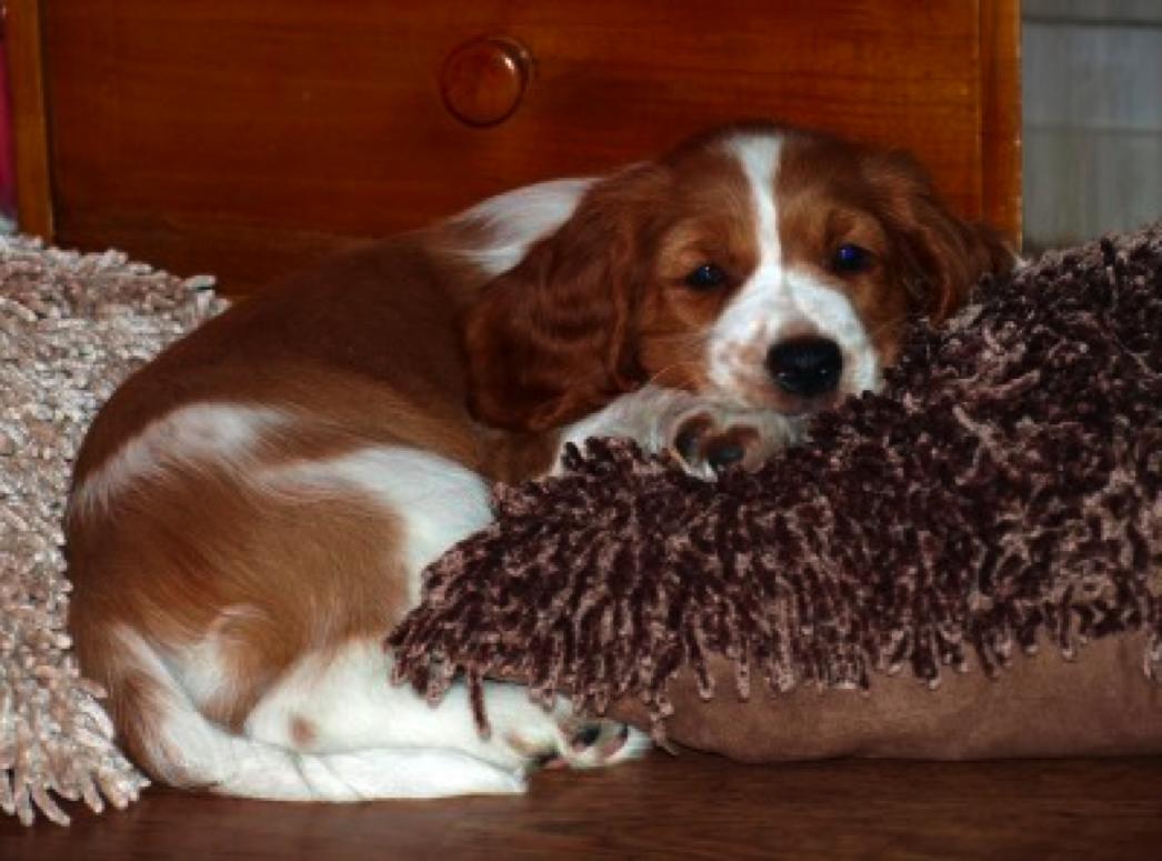 Sandy, the new welsh springer spaniel  girl in our home